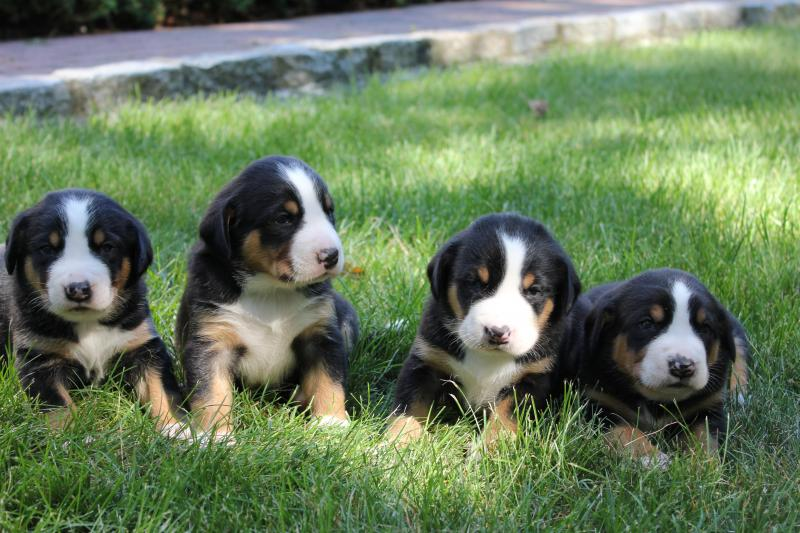 greater swiss mountain dog puppies - 800×533